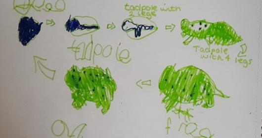 Lifecycle of a Frog - Reception - Online Learning